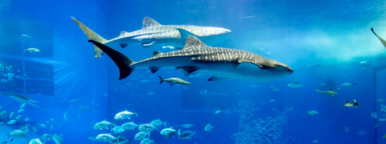 Ɨ�本屈指の水族館で美しい海の世界を堪能 Ʋ�縄美ら海水族館 Ana